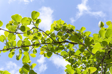 Kiwi vines growing with blue sky and clouds in background.