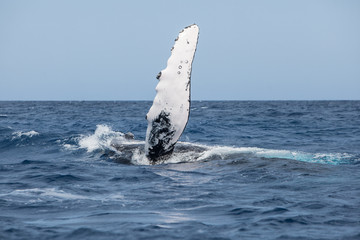 Humpback Whale With Raised Pectoral Fin
