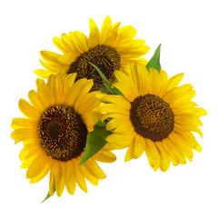 Yellow flower sunflower isolated on a white background