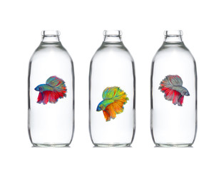 red blue Thai  fighting fish, betta in glass bottle isolate on w