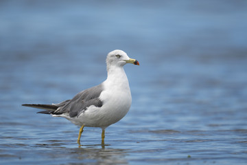 ウミネコ(Black-tailed gull)