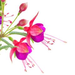 Fuchsia flower on white