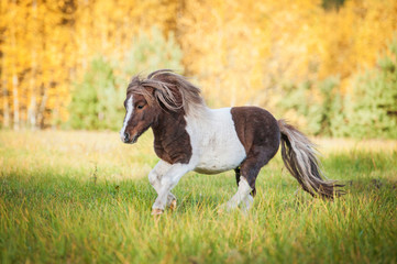Beautiful painted shetland pony running on the field in autumn