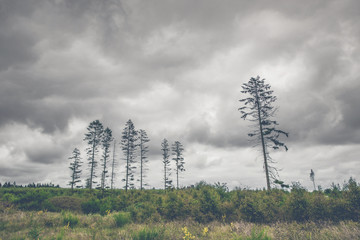 Landscape with tall pine tree silhouettes