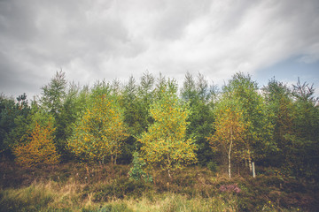 Birch trees in autumn colors