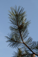 Green fir tree branch with long needles on blue sky background