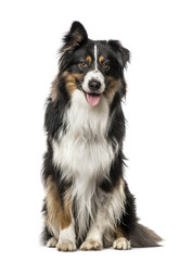 Australian Shepherd with one ear up, isolated on white