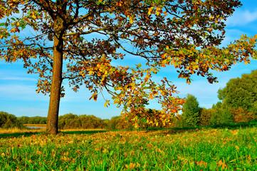 Colorful autumn nature -yellowed autumn deciduous oak in autumn sunny forest
