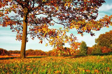 Autumn nature - yellowed autumn deciduous oak tree in autumn sunny field
