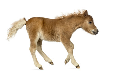 Side view of a poney, foal trotting against white background