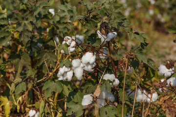 ripe cotton field at autumn