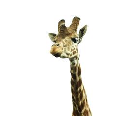 giraffe's head on white background
