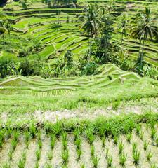 Garden Poster Rice fields Rice terrace in Bali,Indonesia.