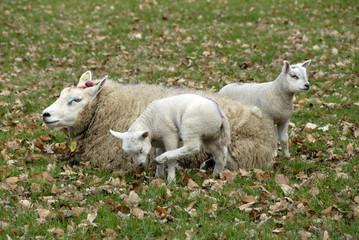 Foto auf Gartenposter Schaf moeder schaap met twee lammetjes in de wei tussen de herfstbladeren.