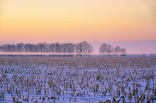 Winter crop field with corn and a number of trees in the background with a nice mist. Pink delicate sky in the early morning and fog. Winter beautiful natural background