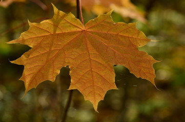 Nature background autumn maple leaf in the web