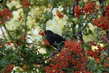 Aluminium Prints Grocery een vogel eet rode bessen in de boom