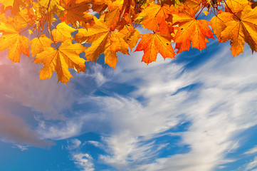 Autumn nature background with free space for text - colorful orange autumn maple leaves against dramatic sky.