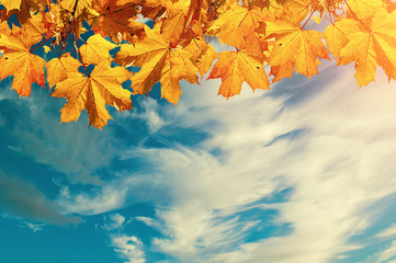 Autumn nature background with free space for text - colorful orange autumn maple leaves against sunset sky