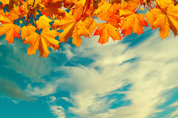 Autumn nature background with space for text - orange autumn maple leaves against sunset sky. Vintage filter applied