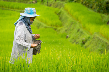 Thai farmer life