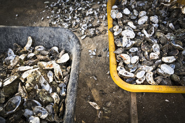 Wheel barrows filled with oyster shells.