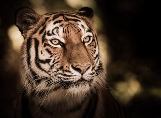 Wild siberian tiger in the jungle