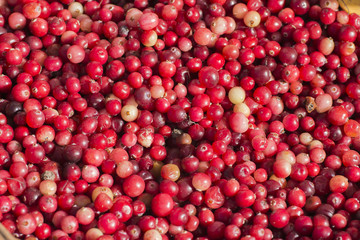 Forest cranberry background