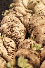 Harvested sugar beet crop root pile