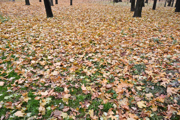 Fallen leaves on the grass in autumn Park.