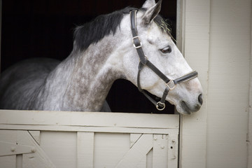 Portrait of a grey horse looking out of a stable door.