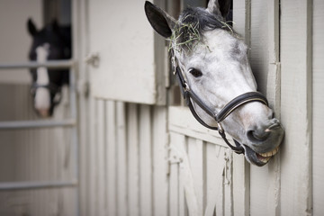 Portrait of a grey horse showing it's teeth while looking out of a stable door.