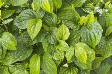 Green bush leaf background. Natural texture.