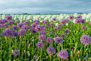Field of Purple and White Allium Flowers at the Foot of Mountains.  Powdery Blue Sky. Copy space.