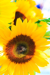 Sunflowers in the sun at farmer's market.