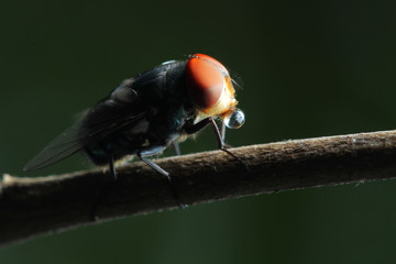 House Fly in Southeast Asia.