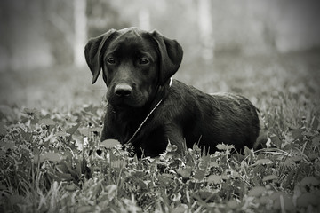 Cute black Labrador puppy lying in the Park in the summer