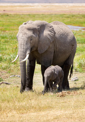 Elephant mother and baby. Full length portrait in Amboseli Natio