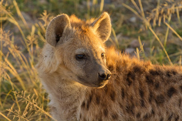 Foto op Aluminium Hyena Young hyena just come out from their hole in the early morning,