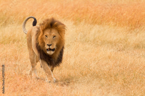 Male lion walking in grass in Masai Mara, Kenya. Horizontal port