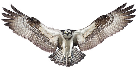 Osprey hawk winged landing hand draw and paint on white background vector illustration. Wall mural