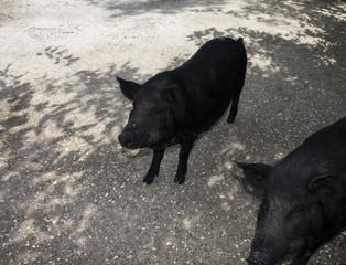 Black pig rare breeds. Park taigan. Crimea