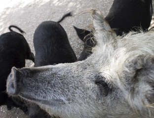 Rare breeds of pigs in a pen in the Park taigan. Crimea