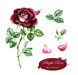 Hand-drawn watercolor illustration of the purple rose. Botanical drawing isolated on the white background. Drawing of the flower, leaf, buds, and petals.