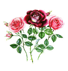 Watercolor botanical illustration of pink and purple roses. Hand painting. Floral drawing for the greeting cards, invitations, personalized card and different decorations.