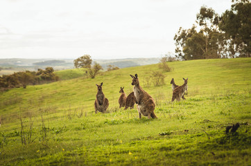 Group of kangaroos at the top of the hill rural australian lands