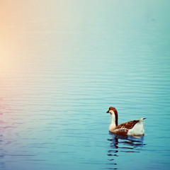 One goose swimming on the lake. Filtered image.