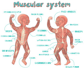 vector cartoon illustration of human muscular system for kids
