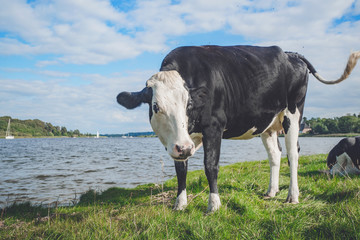 Black and white cow by a river