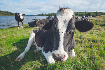 Cow resting in the grass near a river